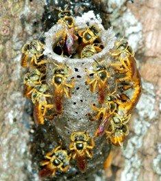 """Aparecen en Brasil las primeras abejas """"soldado"""""""
