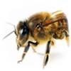 El secreto de la abeja