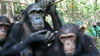 Los Grandes Simios deben ser considerados 'Patrimonio Vivo de la Humanidad'