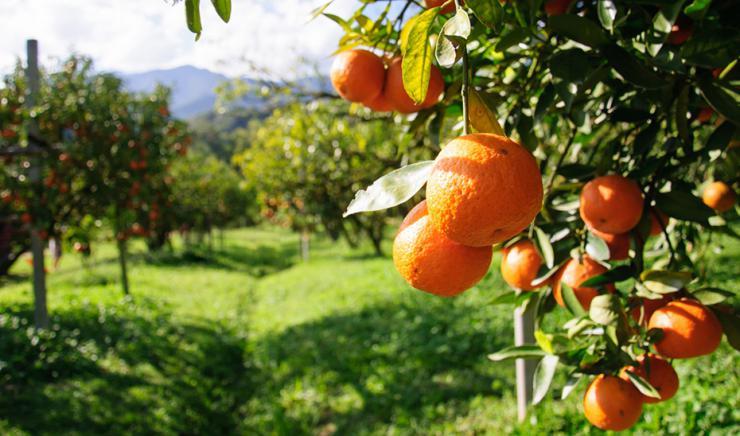 Agricultura reclama controles rigurosos para que la 'mancha negra' de los cítricos no llegue a Andalucía