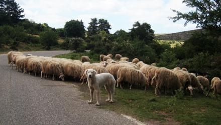 Las ovejas trashumantes volverá a pasar mañana por Madrid