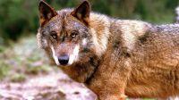 Hay que detener la matanza del lobo ibérico