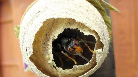 Tercera muerte por picadura de avispa en una semana en Galicia