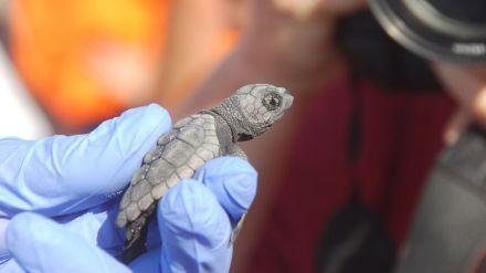 Las tortugas marinas de la quinta puesta de huevos en la Comunitat Valenciana, a punto de nacer