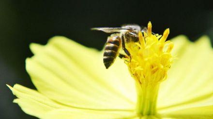 Descubren que el veneno de las abejas puede destruir células agresivas del cáncer de mama