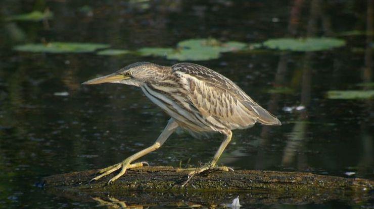 En peligro de extinción: El avetoro común, el porrón pardo y el escribano palustre