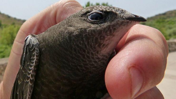 La curiosa estrategia de migración del vencejo común al descubierto