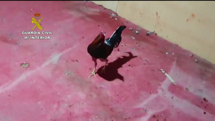 Disuelven una pelea de gallos ilegal con cerca de 90 personas