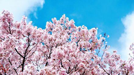 'Hanami' en Tokio: Un verdadero espectáculo de aromas y colores