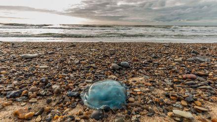 Verdades y mitos sobre la picadura de las medusas en la playa
