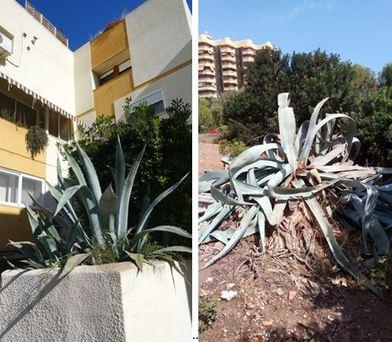 Retiradas 36 toneladas de especies vegetales exóticas en el parc natural de L'albufera en Valencia